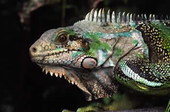 Culebra Iguana
